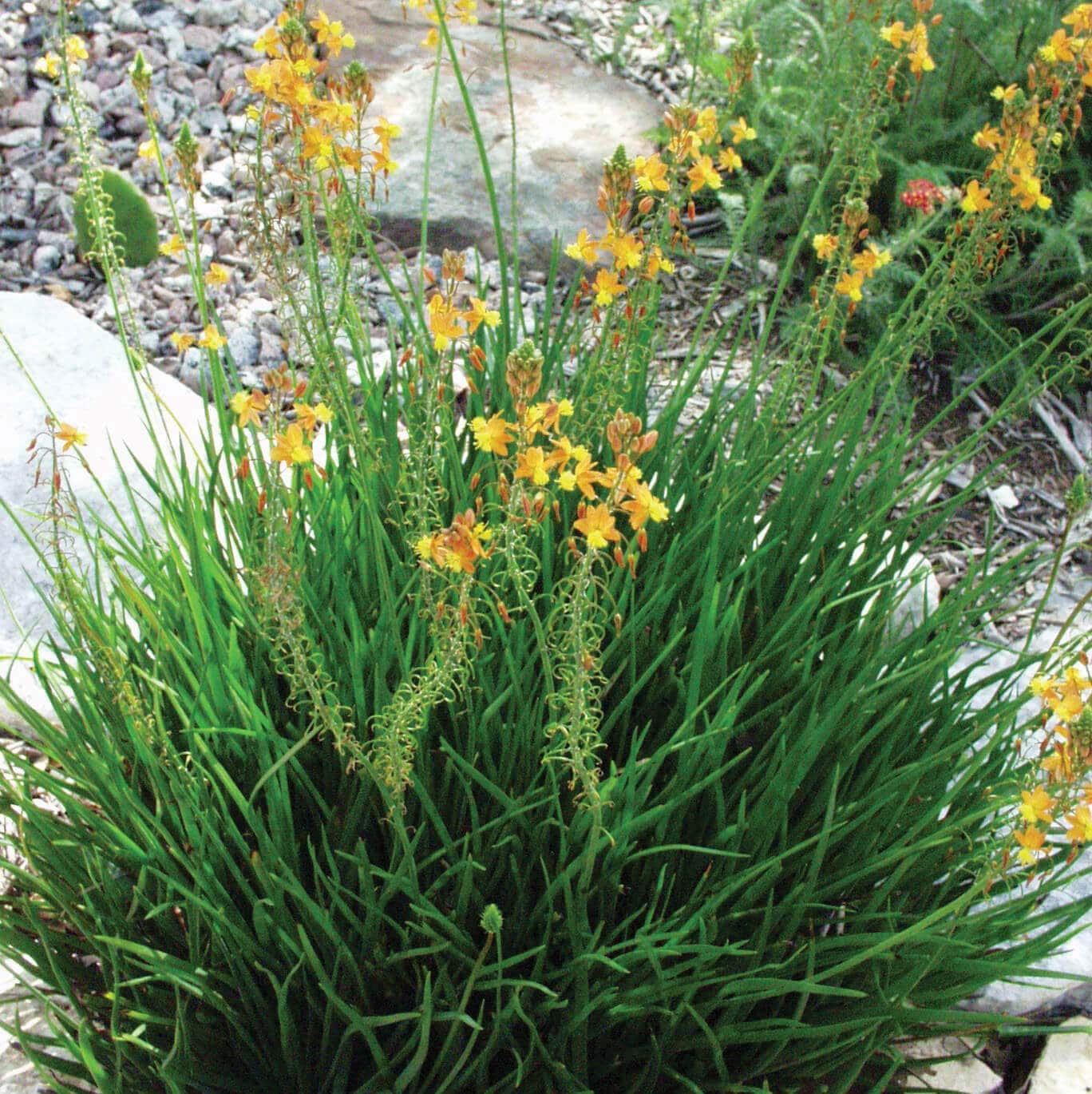 Drought Tolerant Landscaping Photos: Drought Tolerant Plants For Dry Climates Like Texas With