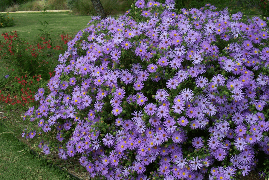 fall aster drought tolerant