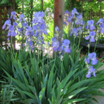 texas bearded iris