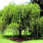 bottlebrush weeping willow tree