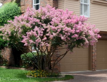 crape myrtle tree drought resistant