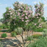 desert willow tree drought resistant