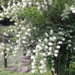 mock orange tree