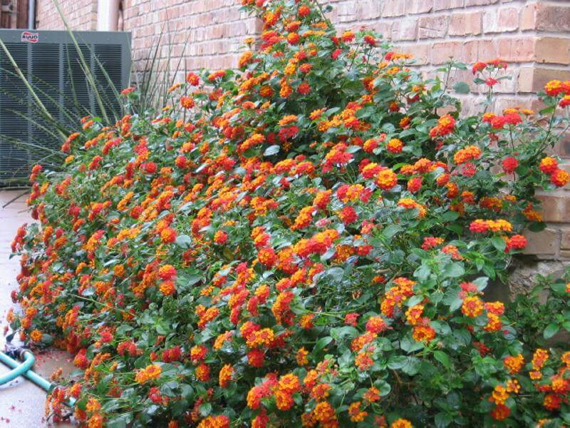 Drought tolerant plants for dry climates like texas with for Low maintenance drought tolerant plants
