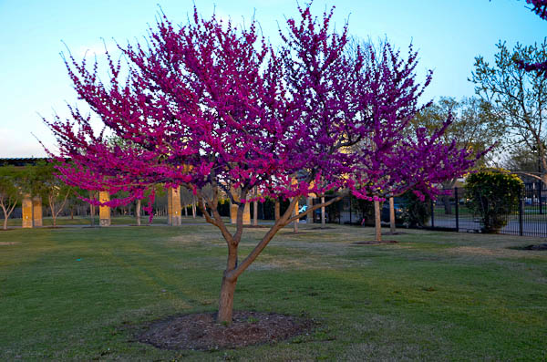 Drought tolerant plants for dry climates like texas with images texas redbud tree mightylinksfo