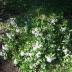 white mistflower drought tolerant