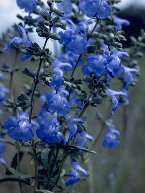 5-Salvia Azurea