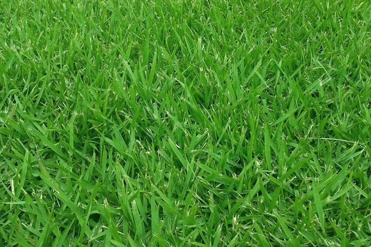Empire Zoysia Grass