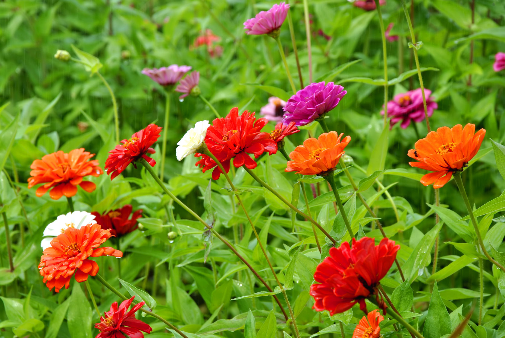 zinnias annual flowers
