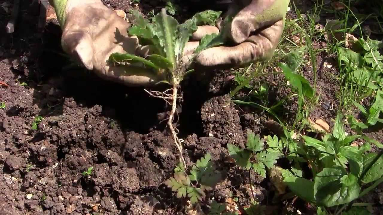 How to Get Rid of Dandelion Weeds