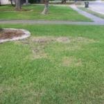 large patch lawn disease