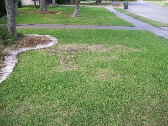 large patch lawn disease