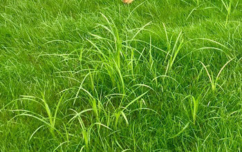 How to Get Rid of Nutsedge / Nutgrass