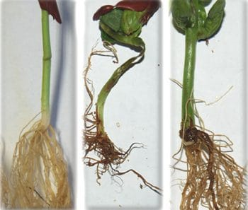 root rot comparison