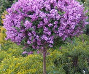 Dwarf Trees For Landscaping