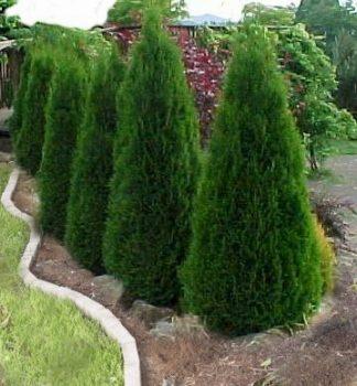 dwarf-evergreen