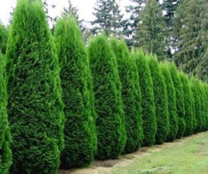 Fast Growing Privacy Shrubs