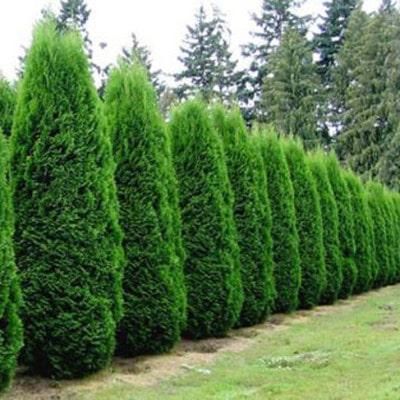 Arborvitae-Emerald