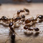 fire ants insects