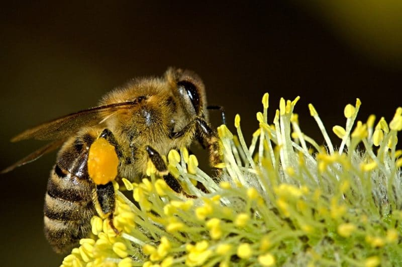 Insects- Bee