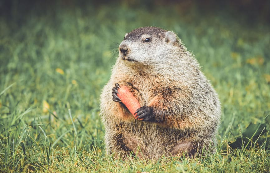 groundhog backyard pest control