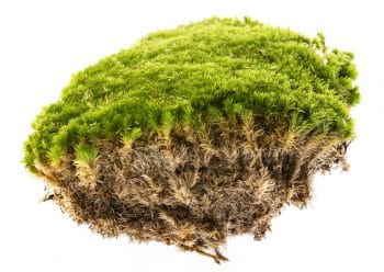 clump of healthy moss