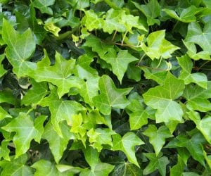 Ground Cover Plants for Texas