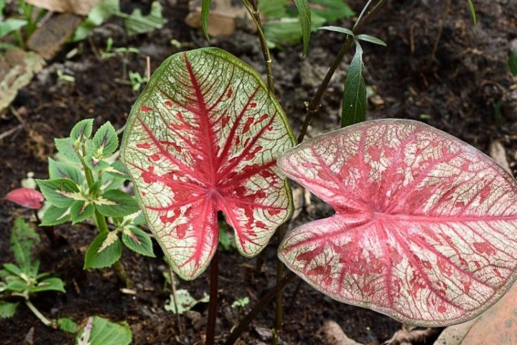 Elephant Ears (caladium)