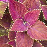 coleus shade plant