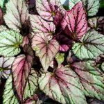 gryphon begonia leaves