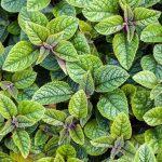 velvet elvis swedish ivy leaves