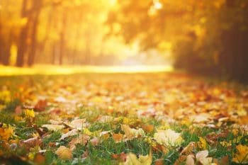 fall lawn care, yellow leaves in a field of green grass
