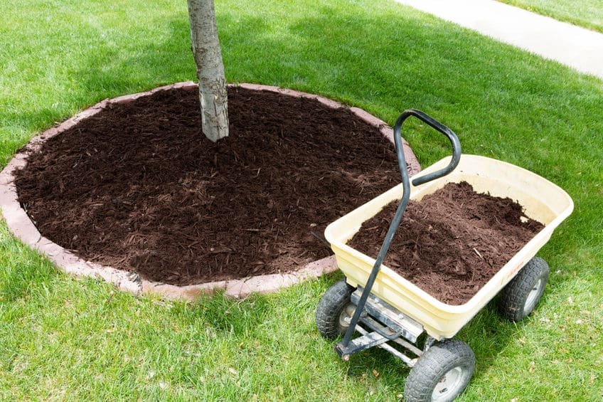 Mulch Around Sapling