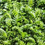 goosegrass