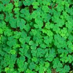 clover weed