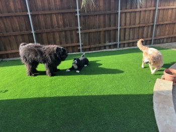 synthetic grass pets