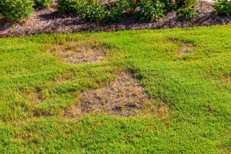 fungal lawn disease patch