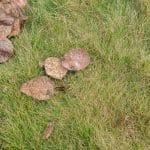 grey leaf spot lawn disease