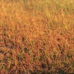 rust lawn disease
