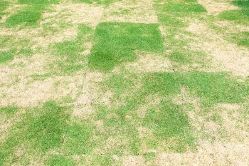 pythium lawn disease