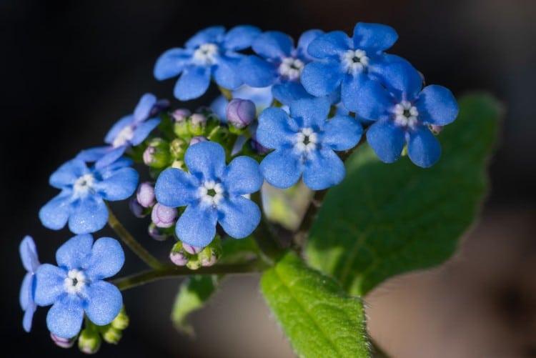 brunnera flower
