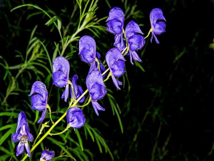 monkshood flower