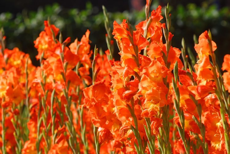 Canna Liliees