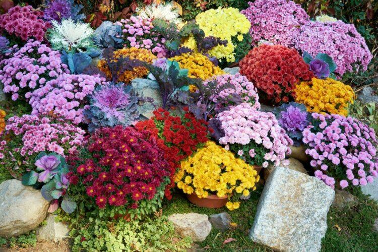 mix of multicolor chrysanthemum flowers